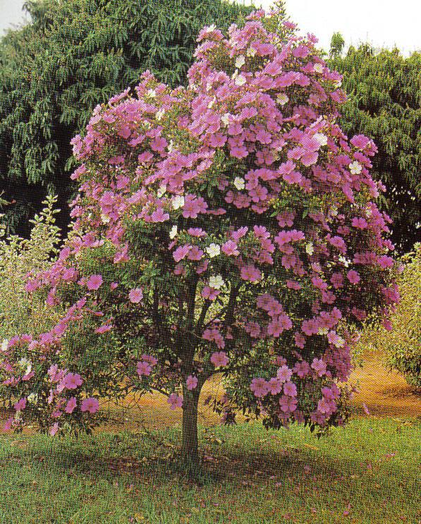 manaca de jardim em vaso : manaca de jardim em vaso:Manaca Da Serra